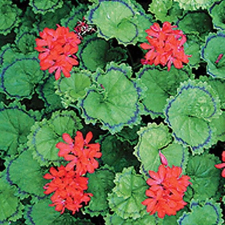 319 best images about pelargonium : geranium : on ...