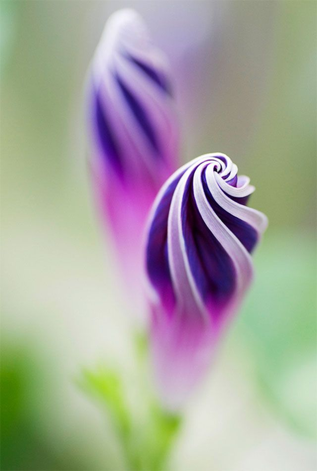 Carnival of color: 30 of the most incredible multi-colored flowers in the world - Blog of Francesco Mugnai--Purple Morning Glory Spirals. By _Maji_