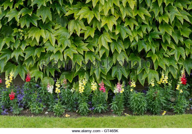 Parthenocissus tricuspidata. Boston Ivy / Japanese Creeper on a garden wall with snapdragon flowers. Cotswolds, - Stock Image
