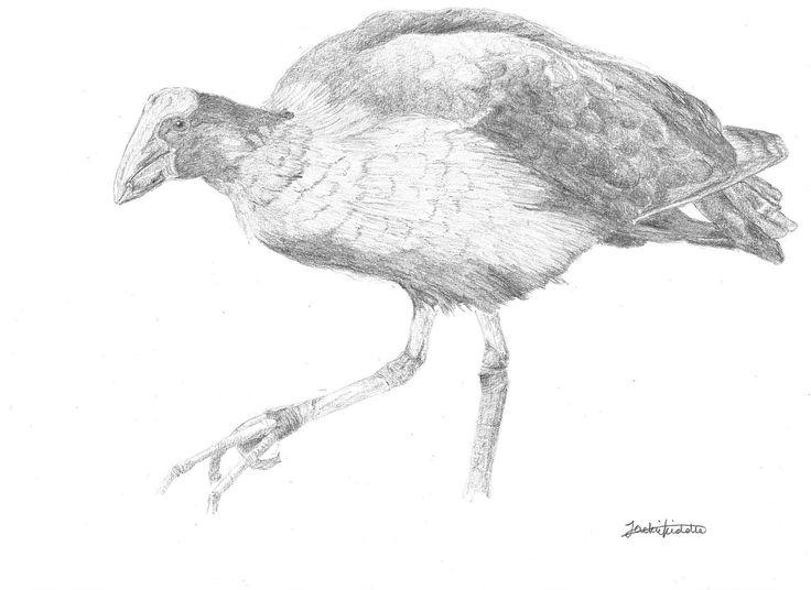 Pukeko (Swamp hen), Porphyrio melanotus