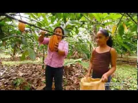 Cultivo de semillas de cacao y como se hace el chocolate.