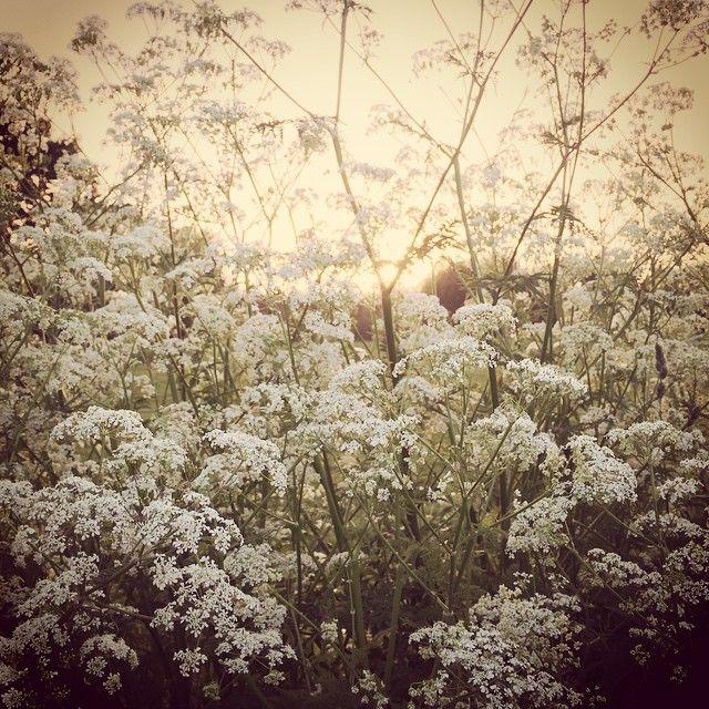 Fluitenkruid #flowers #dutch_connextion