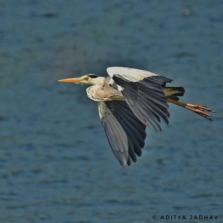 Grey heron, flight, flying, flying bird
