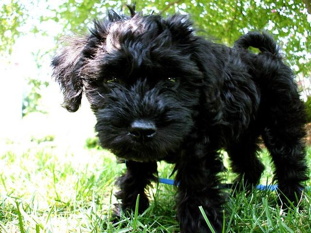 C'est un schnauzer caniche mélanger. J'ai cette chienne. Elle est trés adorable et elle a avais qu'un trois ans.