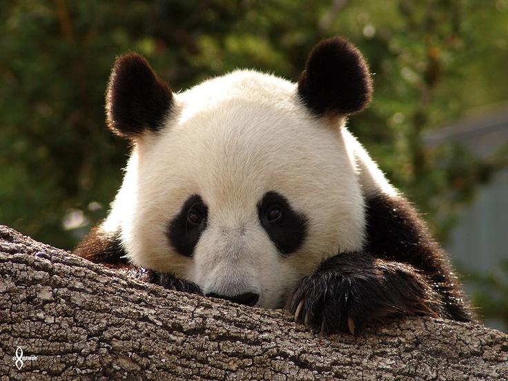 © Amandalee - ALAPhotography- Wang Wang - Adelaide Zoo <3