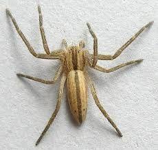 A slender bodied crab spider.