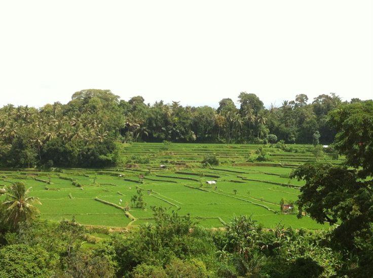 Rice field always calming my mind #iPhone #NoFilter