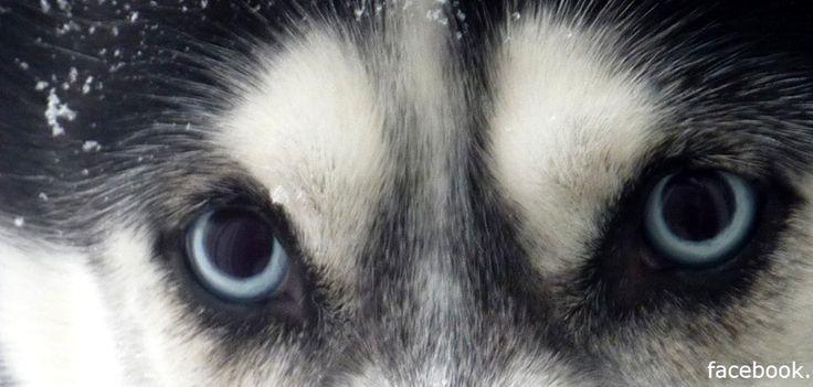 Sibirien Husky Aki Schau mir in die Augen, Kleines. Hundename: Aki / Rasse: Sibirien Husky      Mehr Fotos: https://magazin.dogs-2-love.com/foto/sibirien-husky-aki/ Foto, Hund, Liebe