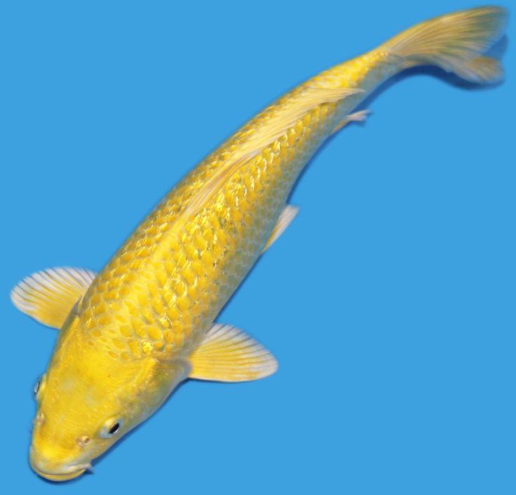 423 Best Koi Fish Images On Pinterest Fish Aquariums