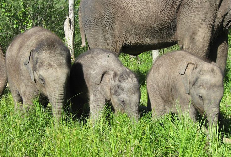 African Lion Safari is proud to announce the birth of Hannah, Gigi and Anna May – three of seventeen Asian Elephants that have been born at the Safari. #AfricanLionSafari #Elephants