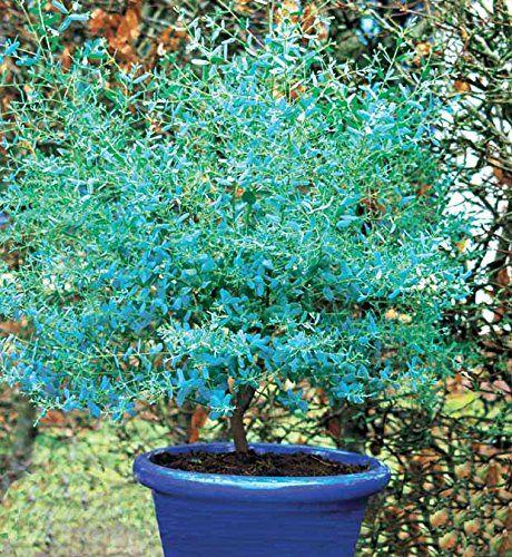 Eucalyptus 'France Bleu' Rengun Willemse France https://www.amazon.fr/dp/B01ETSYWM0/ref=cm_sw_r_pi_dp_x_mGFizbP0TDPKC