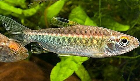 African Red Eye Tetra Red Eyes Pets Animals