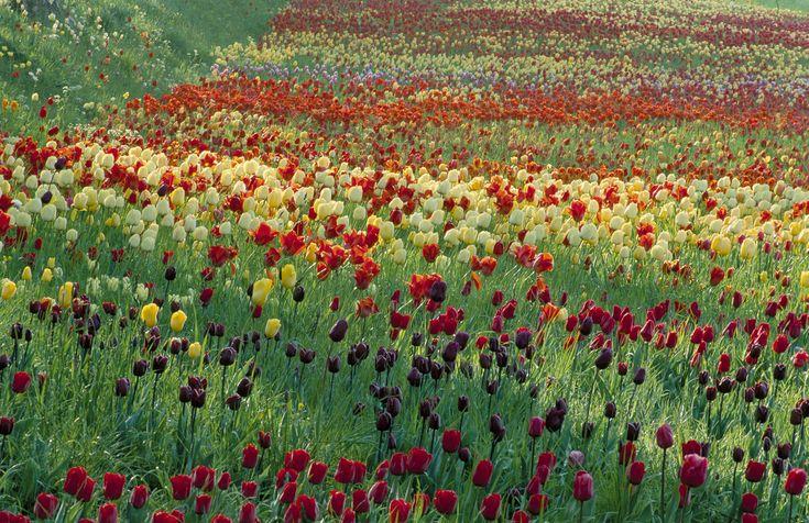 Tulips -