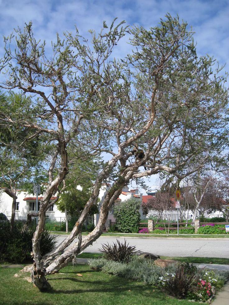 Melaleuca nesophila pink melaleuca melaleuca plants for Unusual small trees