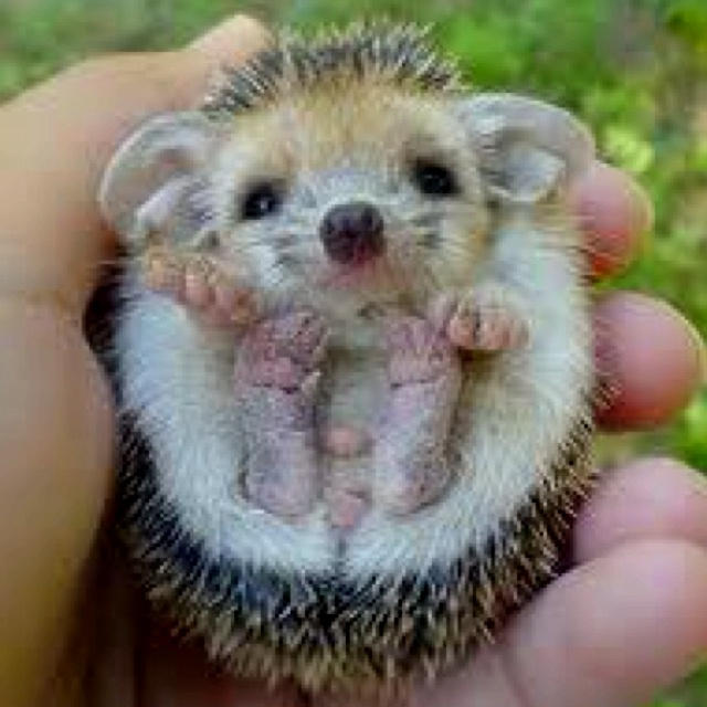 Baby Hedgehog...where and how can I get one???