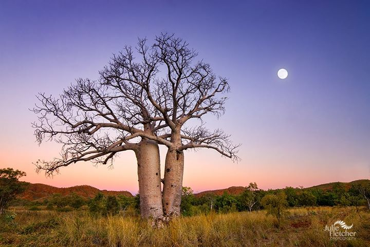 'Dancing Boabs', Kununurra, Western Australia (image by Julie Fletcher Photography)
