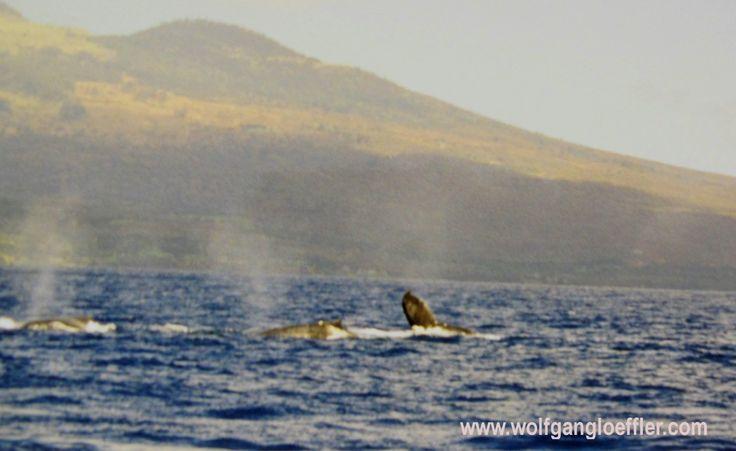Von November bis April könnt Ihr im Dreieck zwischen Maui, Moloka'i und Lana'i Wale beobachten. Ein wirklich unvergessliches Erlebnis