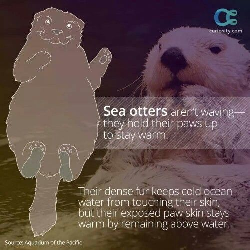 Sea otter fact