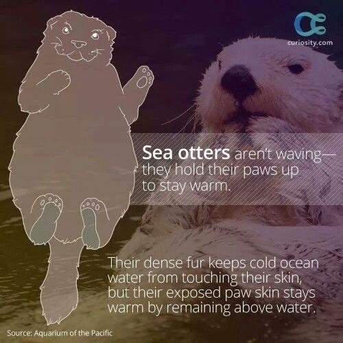 Sea otter fact
