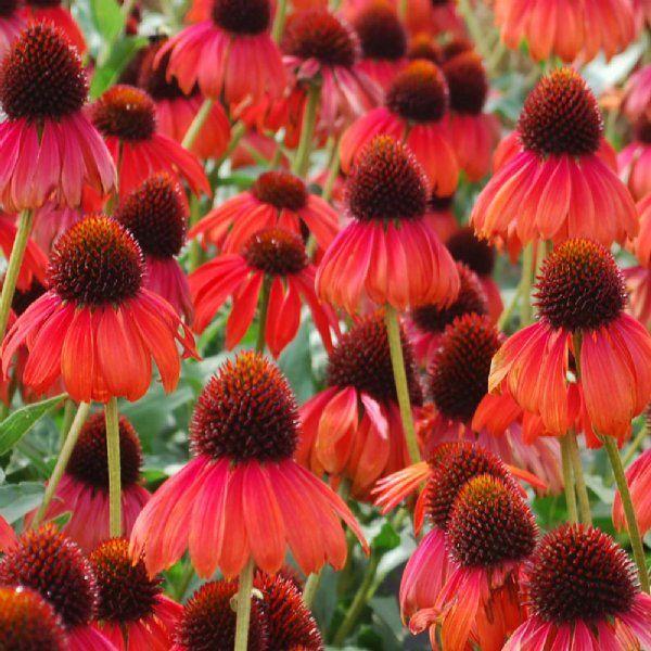 Firebird Echinacea Plants For Sale Coneflower Free Shipping In 2020 Echinacea Flowers Plants