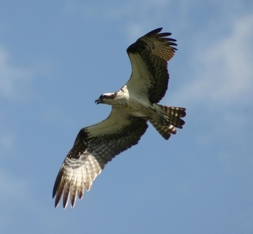 osprey.  such a cool bird