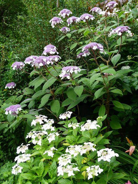"Hydrangea aspera ""Villosa"" et Hydrangea macrophylla ""Lanarth Withe"""