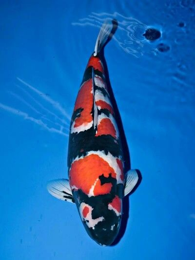 17 best ideas about showa koi on pinterest koi for Carpe koi aquarium 300 litres