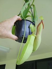 how to grow: pitcher plants
