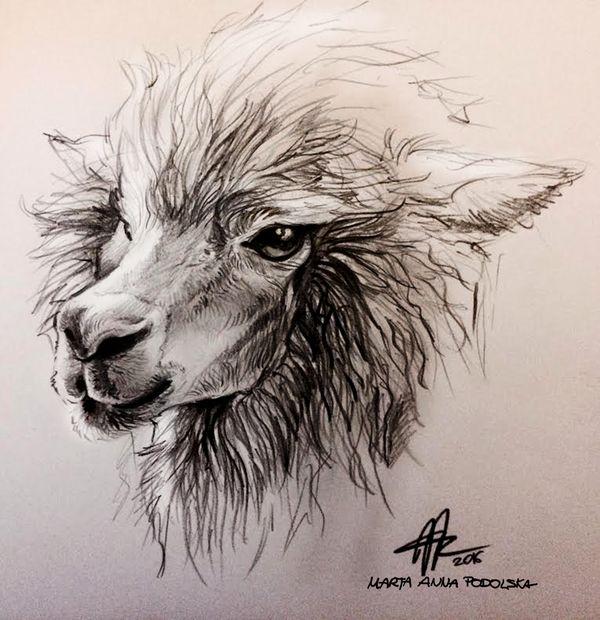 Alpaca Head Study by ISHAWEE