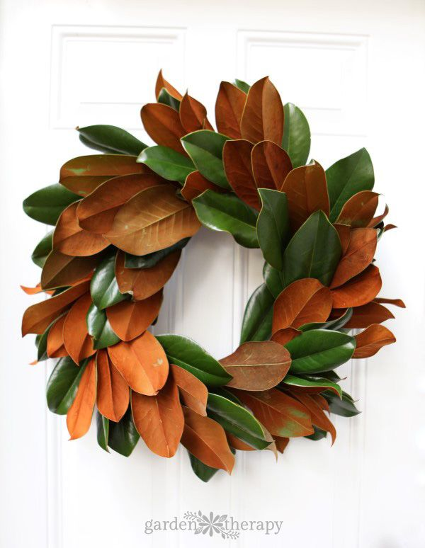 How to Make a Farmhouse Magnolia Wreath Instructions While many magnolias are prized in the spring for their scented blooms, Magnolia Grandiflora is known for its foliage. It has attractive, dark green leaves with a rusty brown color peeking out from underneath. The glossy green of the leaves would be attractive enough on its own, but the underside of each leaf is often covered with a thick brown or rust colored indumentum which creates a textural quality that looks like velvet.