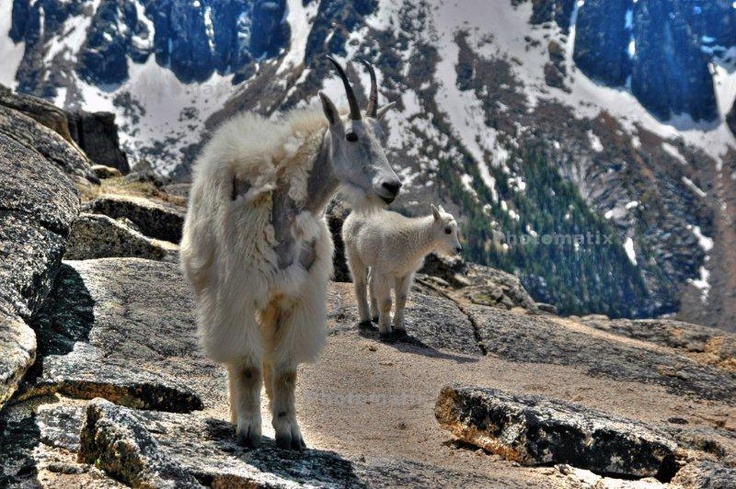 Mountain Goats for Lunch. Joining us as we hike the Cathedral Provincial Park, Pacific Rim Trail, near Keremos, British Columbia