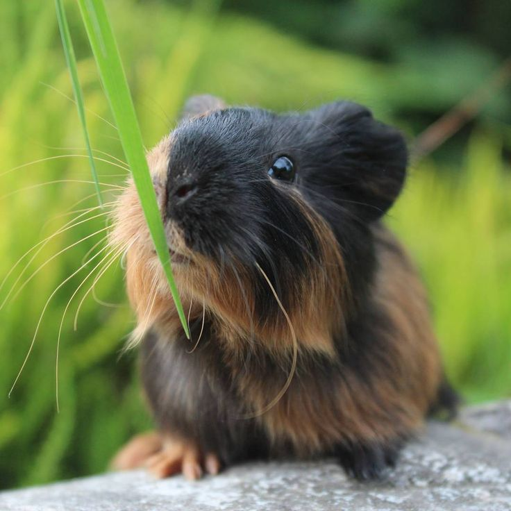 Guinea Pig - Photo by @fluffy.story