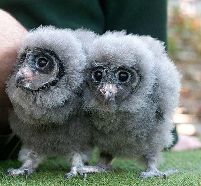 Twin Sooty Owls ace their training at Taronga Zoo.