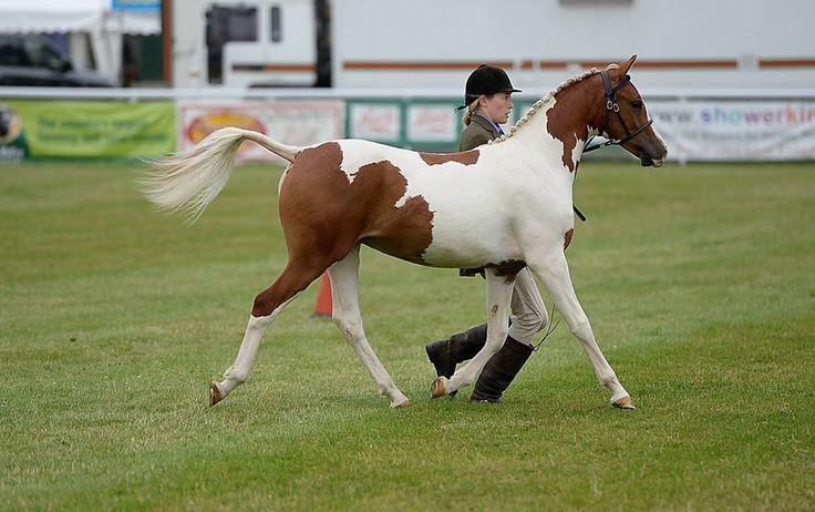 (91) The Welsh Pony and Cob Society - Photos