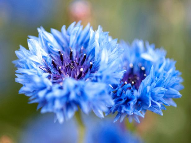 Our May Color of the Month is True Blue (http://blog.hgtv.com/design/2014/05/02/hgtv-may-2014-color-of-the-month-indigo/?soc=pinterest)Blue Flowers, Beautiful Blue, Centaurea Cyanus, Produce Beautiful, Blue Bloom, Bachelor Buttons, Gardens Design, Blue And White Gardens Flower, Favorite Flower
