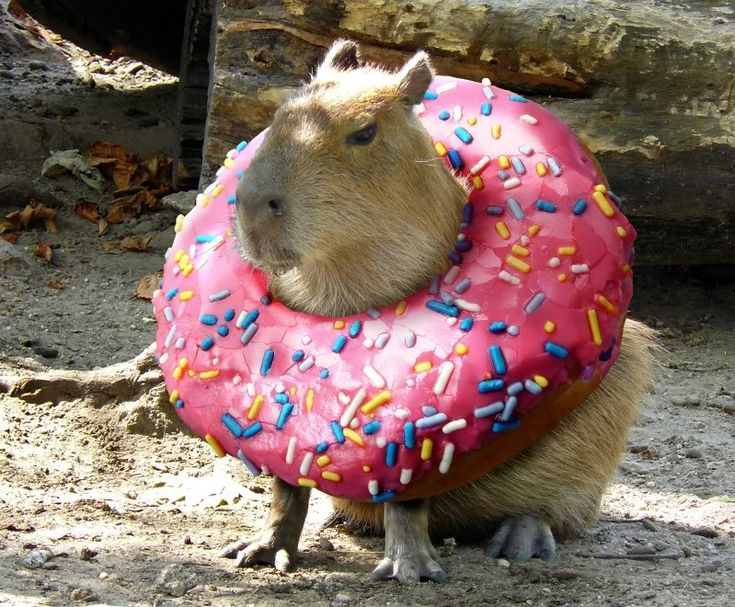 Everyone was ...perplexed....by Dunkin Donuts new flavor offering: a capybara filled donut. It was quickly discontinued when it was observed to always be the only one left in the box..upon first opening...at which point it would burp, step out of the box and waddle away.