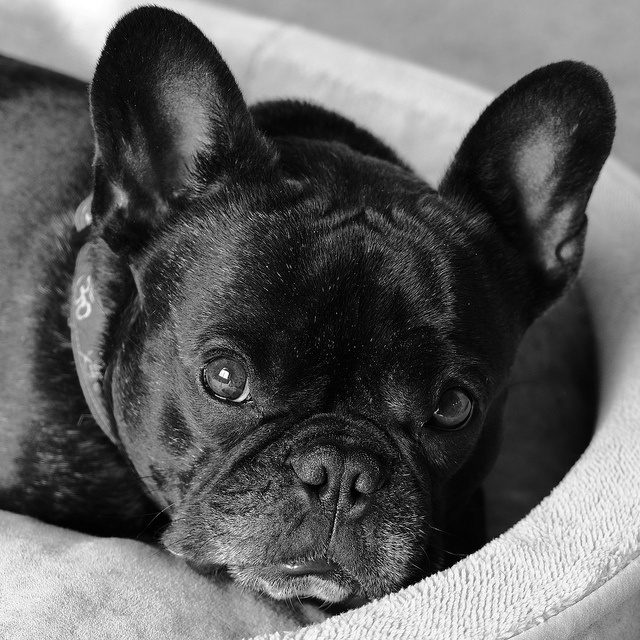 French Bulldog, what a face ; )