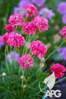 Armeria Pom Pom Shiny and grass like foliageand grows in a tight clump. FLOWERING:-Deep pink pom pom flowers from late winter to summer SIZE:-10cm high x 20cm wide  USES :-A great textural plant for border plantings, pots or containers, rockeries, smaller fillers for cottage gardens or lining pathways. Suitable for coastal plantings through to cold alpine regions. POSITION :-Likes full sun and is frost hardy MAINTENANCE :-Low maintenance; remove spent flower heads to tidy