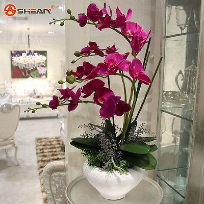 Rare Birds Phalaenopsis Orchid Seeds Flower Seeds Indoor Bonsai Orchids Plant