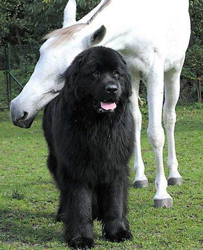 Newfoundland with a grey horse.