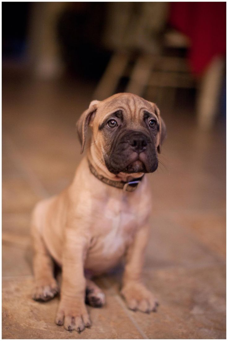 Bullmastiff Puppy! I will own another one SOON                                                                                                                                                                                 Mehr