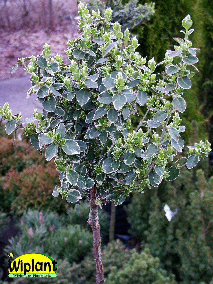 Eonymus fortunei 'Emerald Gaiety', Brokbladig benved. Vintergrön.  Vit bladkanter på sommaren och vitrosa på vintern.  Bör vinterförvaras i lager (-5C till +6C).  Höjd: 1 m (stam 60-80 cm).  Zon I (II)