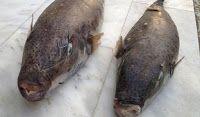 Πιερία: Θανατηφόρα ψάρια στις θάλασσες της Κρήτης