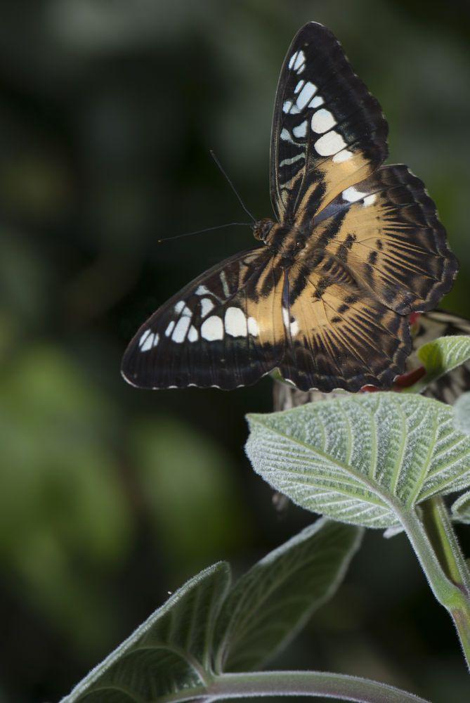 tan butterfly by cliffordpugliese