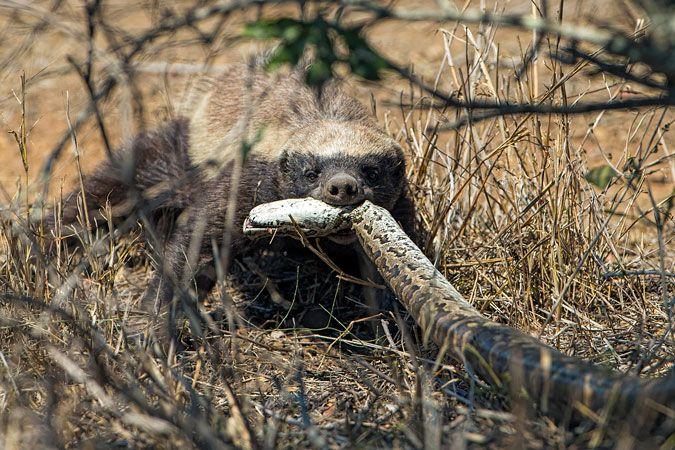 Honey badger vs lion testicles - photo#45