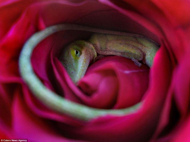 Dřímající ještěr byl objeven pouze v případě, Megan Hixson se naklonil, aby hezké květ čichat