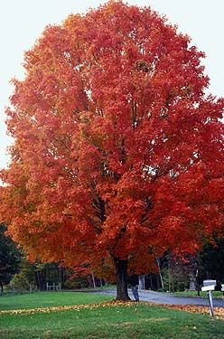 """Sugar Maple - Acer Saccharum.... Hardiness Zones: 4-8, habit: deciduous, growth rate: slow, site requirements: sun to partial shade; prefers evenly moist, well drained soil. Texture: Medium, form: conical to round crown; dense foliage. height: 50 to 75', width: 30 to 45'.  Sugar maple Leaf: 3 to 6"""" opposite, simple leaf with 3 to 5 lobes; excellent fall color - yellow, orange and red tones. Flower/Fruit: Small greenish yellow flowers in early spring.  Does not do well in a restricted root…"""