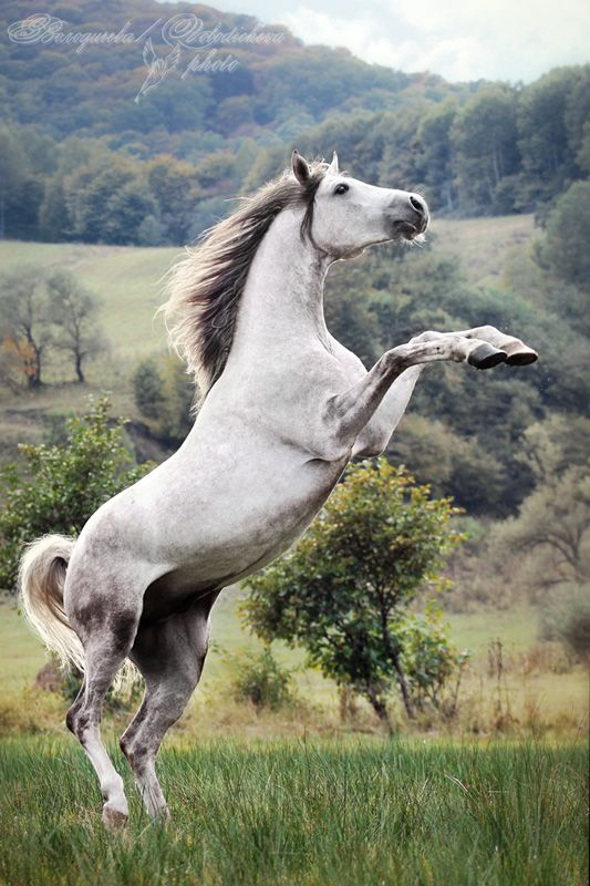 Arabian horse... I've been so glad to see some that don't have extreme dish faces lately!