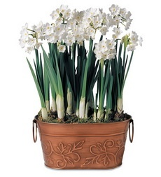 Paperwhite Bulb Garden With 7 Bulbs In Metal Container