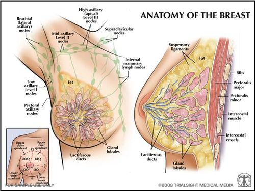 anatomy and physiology of the breast Breast anatomy and physiology a layer of fatty tissue surrounds the breast glands and extends throughout the breastthe glandular tissues of the breast house the lobules milk producing glands at the ends of the lobes and the ducts milk passagestoward the nipple, each duct widens to form a sac ampullaas he stooped to the flame he noticed the.